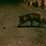 La volpe e l'iPhone: nessuna cultura ambientale