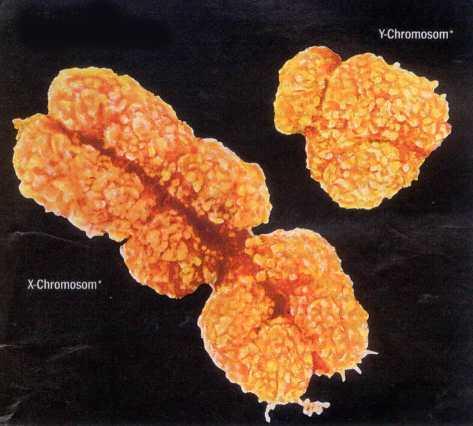 Cromosomi X (destra) e Y (sinistra)