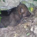 Nato lupetto nell'area faunistica del Parco d'Abruzzo