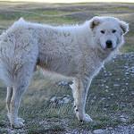 Parte la campagna di vaccinazione dei cani per salvare l'orso marsicano