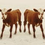 Un futuro con cibo da animali clonati