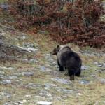"""Grave la situazione dell'orso marsicano per Piero Genovesi, ISPRA: """"Necessario sforzo maggiore"""""""