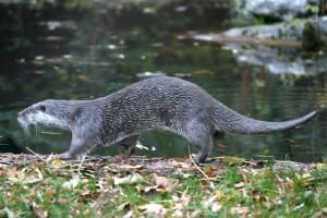 La lontra in Italia: il punto sui due nuclei del centro-sud