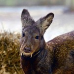 Il cervo del Kashmir, ritenuto estinto, sopravvive in Afghanistan