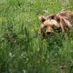 Investita femmina di orso marsicano ai primi di giugno: <br> non si hanno notizie certe sulla sua sorte