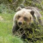 L'orso marsicano di nuovo nei paesi, ancora polemiche sugli orsi confidenti in Abruzzo
