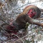 Attacco al Parco Nazionale d'Abruzzo: lupo decapitato a pochi giorni dal cervo