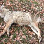 Lupo morto nel Parco Nazionale d'Abruzzo, si teme evvelenamento