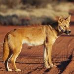 Primi cani in America solo 10mila anni fa