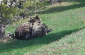 Femmine di orso marsicano con i piccoli: <br> ancora molte le domande senza risposta