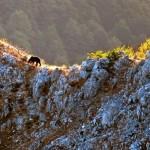 Abruzzo, morta un'altra femmina di orso marsicano