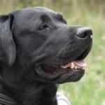 Due labrador inglesi annuseranno i tumori