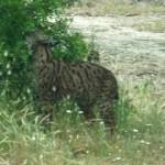 Lupi, orsi e linci tornano a popolare l'Italia