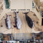 Bracconieri di balene giapponesi colti in flagrante da Sea Shepherd <br> Immagini shock di macellazione di una balena