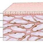 Enigmi dell'anatomia umana. Scoperto un nuovo organo