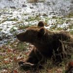 Un Ottobre movimentato per l'orso bruno marsicano
