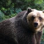 Abruzzo, tubercolosi bovina e orso marsicano: <br> Gaianews.it intervista il presidente del Parco Carrara