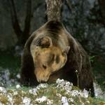 Orso marsicano, Regione Abruzzo sospende pascolo in alcune aree