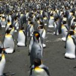La marcia (non prevista) dei pinguini reali verso sud