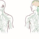 Rivoluzione nell'anatomia, scoperto sistema linfatico nel cervello